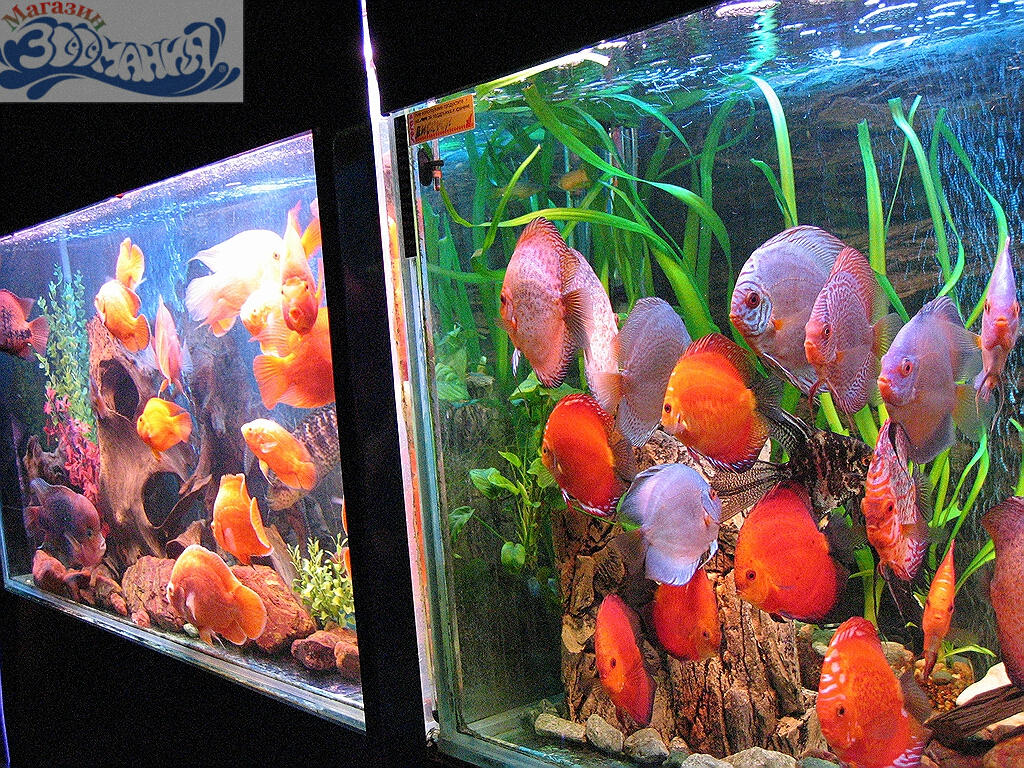 discus aquarium information about discus aquariums
